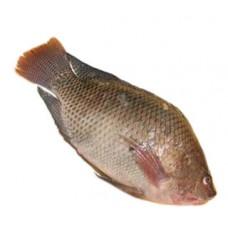 אמנון (מושט) - דייג