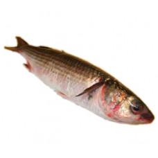 בורי - דייג